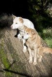 White and golden dingo Royalty Free Stock Image