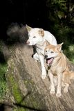 White and golden dingo Royalty Free Stock Photography