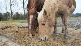 White golden Isabella horse chew dry hay with brown cold blood horse. Paddock at mountain horse farm. Horses behind wire