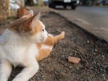The White Golden Kitten Crouching. On Sidestreet Stock Photos