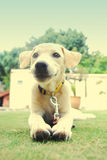 A white and golden puppy. Sitting on the grass Royalty Free Stock Photo