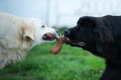 White golden retriever and black newfoundland dog play tug of war royalty free stock photos