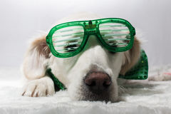 White golden retriever with green St. Patrick`s party glasses. And green bow tie Royalty Free Stock Images