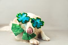 White golden retriever with its tongue sticking out, green bow tie and shamrock party glasses against a grey seamless background. A white golden retriever with royalty free stock photography