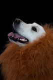 white golden retriever with a lion made up mane. Against a black background Stock Photos