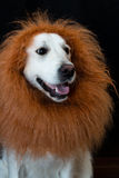 white golden retriever with a lion made up mane. Against a black background Royalty Free Stock Images