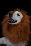 white golden retriever with a lion made up mane. Against a black background Stock Image
