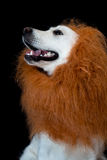 white golden retriever with a lion made up mane. Against a black background Stock Photography