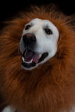 white golden retriever with a lion made up mane. Against a black background Royalty Free Stock Image
