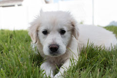 White Golden Retriever puppy lying down. In the grass Stock Photos