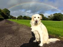 White golden retriever sitting down on a countryside road royalty free stock photography