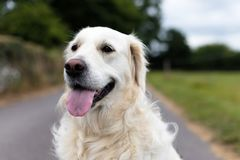 White golden retriever with the tongue out in the middle of a country road. Close up portrait of a purebred white golden retriever with the tongue out in the stock photos