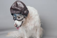 White golden retriever with vintage aviator helmet and goggles against a grey seamless background stock photography