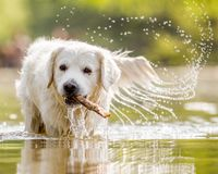 A White Golden Retriever walking through a lake. A White Golden Retriever walking through a lake with a stick in its mouth. lots of splashing. from the front on stock images