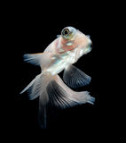 White goldfish on black background Royalty Free Stock Photo