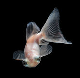 White goldfish on black background Royalty Free Stock Photos
