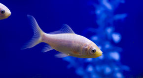 White Goldfish with a blue background. A pure white goldfish in a tank against a blue background Stock Photos