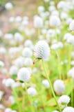 White Gomphrena Globosa Flower. Meadow field Royalty Free Stock Image