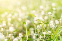 White Gomphrena Globosa Flower. Meadow field Royalty Free Stock Photography