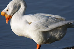 White goose. Curled into the frame Royalty Free Stock Photography