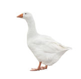 White Goose. Domestic white goose isolated on a white background Stock Photography