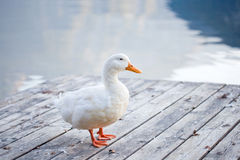 White goose. Near the lake stock images