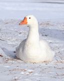 White Goose Stock Photos