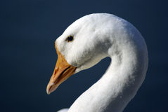 White goose. A white goose in the river Stock Images