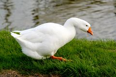 White goose. Standing on the waterfront eating grass stock image