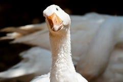 White goose Stock Photos