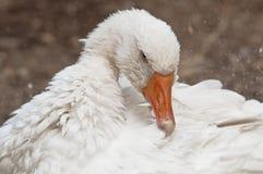White goose Royalty Free Stock Photos