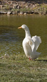 White goose Royalty Free Stock Images