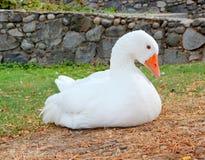 Free White Goose Stock Photos - 40807373