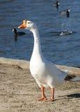 White Goose. White goose at Balboa Lake Park. Los Angeles, CA royalty free stock images