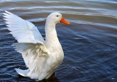White goose. A white goose spreading it's wings over the water stock photography