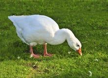 White goose. White free run goose feeding on green grass on a farm royalty free stock image