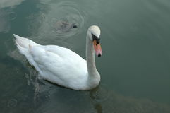 White Goose. In the pond royalty free stock photo