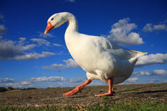 White goose against a summer sky Royalty Free Stock Photo
