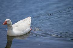 Goose swims in the pond stock images