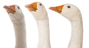 White goose Anser anser domesticus. Isolated on a white background royalty free stock photo