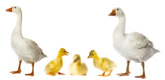 White goose Anser anser domesticus. Isolated on a white background stock image
