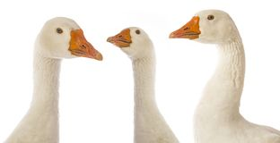 White goose Anser anser domesticus. Isolated on a white background stock images