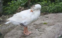 Free White Goose At The Farm Royalty Free Stock Image - 116654826
