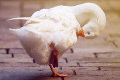 White goose. In Barcelona, Spain Royalty Free Stock Images