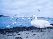 White Goose on beach, seagulls flying in background.  stock photo