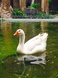 The white Goose. A beautiful white goose floating on a pond stock photo