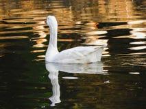 White goose. Beautiful reflection shot of white goose in lake stock photos