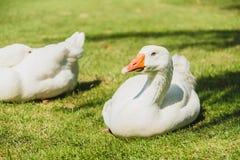 White goose bird. On green field stock photography