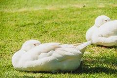 White goose bird. On green field royalty free stock photo