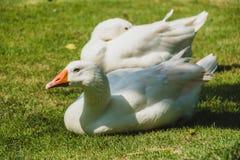 White goose bird. On green field stock photos